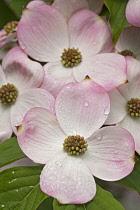 Dogwood, Flowering Dogwood, Cornus florida, Pink flowers growing outdoor.