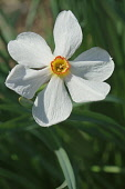 Daffodil, Narciussus 'Actaea', Close up of single white coloured flower growing outdoor.