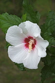 Hibiscus, Rose of Sharon, Hibiscus syriacus, Single white coloured flower growing outdoor.