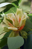 Tulip tree, Liriodendron tulipifera, Single yellow coloured flower growing outdoor on the plant.