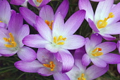 Crocus, Early crocus, Crocus tomassinianus, Mass of purple coloured flowers growing outdoor.