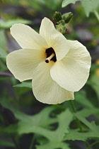 Aibika, Abelmoschus manihot, Single cream coloured flower growing outdoor.