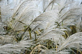 Amur silver grass, Miscanthus sacchariflorus, Silver coloured grasses growing outdoor.