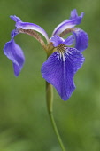 Bristle-pointed iris, Iris setosa, Blue coloured flower growing outdoor.
