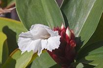 Bitter ginger, Zingiber zerumbet, Delicate white flower emerging.