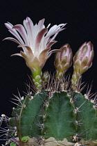 Cactus, Moon cactus, Gymnocalicium mihanovichii, Emerging mauve coloured flowers.
