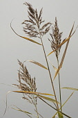 Reeds, Sedge, Phragmites australis, Close up detail in a studio against grey background.
