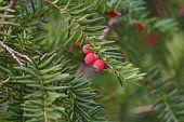 Yew, Taxus baccata, Red berries on spiky tree.