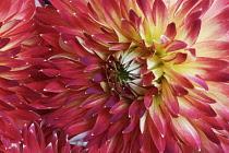 Dahlia, Multi coloured flower growing outdoor.