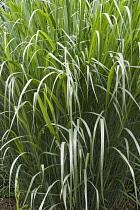 Dallas Blues switch grass, Panicum virgatum 'Dallas Blues', Growing outdoor.