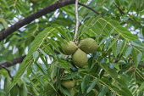 Eastern Black Walnut, Juglans nigra, Green fruit growing outdoor on the tree.