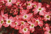 Dogwood, Flowering Dogwood, Cornus florida, Mass of small pink coloured flowers growing outdoor.
