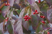 Dogwood, Flowering Dogwood, Cornus florida, Mass of small red coloured berries growing outdoor.