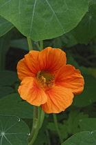 Nasturcium, Tropaeolum majus, Peach coloured flower growing outdoor.