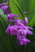 Hyacinth orchid, Bletilla striata, Pink coloured flowers growing outdoor.