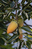 Japanese persimmon, Diospyros kaki, Yellow coloured fruit growing on the tree.