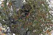 Korean mistletoe, Viscum album coloratum, Red berries growing outdoor on host tree.