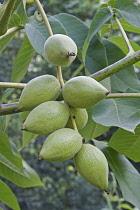 Manchurian walnut, Juglans mandshurica, Green coloured fruit growing outdoor.