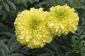 Marigold, Tagetes erecta, Two yellow coloured flowers growing outdoor.