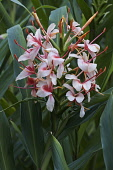 Ginbger lily, Orange gingerlily,Hedychium coccineum, Pink coloured flowers growing outdoor.