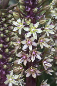 Pineapple flower, Eucomis comosa bicolour, Close up of mauve coloured flowers growing outdoor.