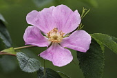 Prickly wild rose, Rosa acicularis, Single pink coloured flower growing outdoor.