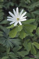 Radde's anemone, Anemone raddeana, Single white coloured flower growing outdoor.