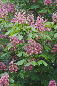 Red horse-chestnut, Aesculus x carnea, Pink coloured flowers growing outdoor.
