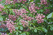 Red horse-chestnut, Aesculus x carnea, Pink coloured flowers growing outdoor.---