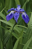 Japanese roof iris, Iris tectorum, Blue coloured flower growing outdoor.