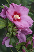 Hibiscus, Rose of Sharon, Hibiscus syriacus, Pink coloured flowers growing outdoor.