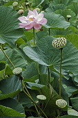 Lotus, Sacred lotus, Nelumbo nucifera, Single pink flower growing outdoor among seedheads.
