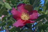Sasangua camellia, Camellia sasangua, Single red coloured flower growing outdoor.