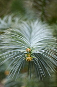 China FIr, Blue-needled china fir, Cunninghamia lanceolata Glauca, Detail of the spiky plant growing outdoor.