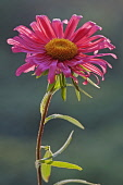 Aster, China aster, Callistephus chinensis, Single red coloured flower gropwing outdoor.