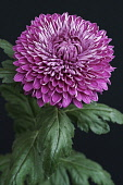 Chrysanthemum, Hybrid chrysanthemum, Single purple coloured flower growing outdoor.