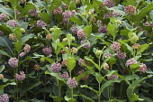 Common milkweed, Asclepias syriaca, Detail of bush with pink coloured flowers growing outdoor.