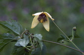 Korean clematis, Clematis serratifolia, Detail of yellow coloured  flower growing outdoor.