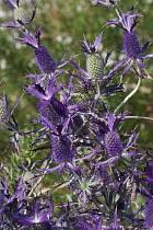 Sea Holly, Leavenworth's eryngo, Eryngium leavenworthii, Detail of purple coloured flowers growing outdoor.