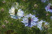 Love-in-a-mist, Nigella damascena, Detail of bliue coloured flowers growing outdoor.