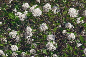Viburnum, Mohawk viburnum, Viburnum x Burkwoodii Mohawk, Mass of tiny white flowers growing outdoor.