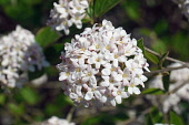 Viburnum, Mohawk viburnum, Viburnum x Burkwoodii Mohawk, Detail of tiny white flowers growing outdoor.