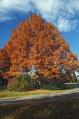 Redwood,  National Dawn redwood, Metasequoia glyptostroboides National, Tree in fall colours.
