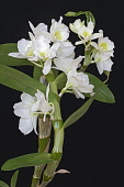 Orchid, Noble dendrobium, Dendrobium nobile, Detail of white coloured flower growing outdoor.