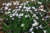 Ipheion, Springstar, Ipheion uniflorum, Mass of mauve coloured flowers growing outdoor.