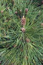 Pine, Ponderosa pine, Pinus ponderosa, Detail showing spiky nature of the tree.