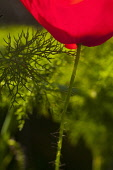 Poppy, Papaver, Detail of red coloured flower growing outdoor.