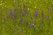 Salvia, Wild Salvia, Blue Sage, Salvia Patens, Mass of purple flowers growing outdoor in field of buttercups.