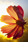 Cosmos, Backlit shot of orange coloured flower growing outdoor.