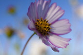 Cosmos, Low side view of mauve coloured flower growing outdoor showing stamen.